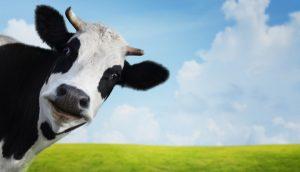 Empresa argentina vende criptomoedas que diz ter lastro em vacas grávidas