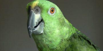 Exemplar de Galvão bird (Foto: Reprodução/Youtube)