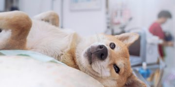 Shiba, doge, dogecoin
